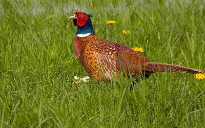 Meld roepende fazanten – bescherm zo de nestjes