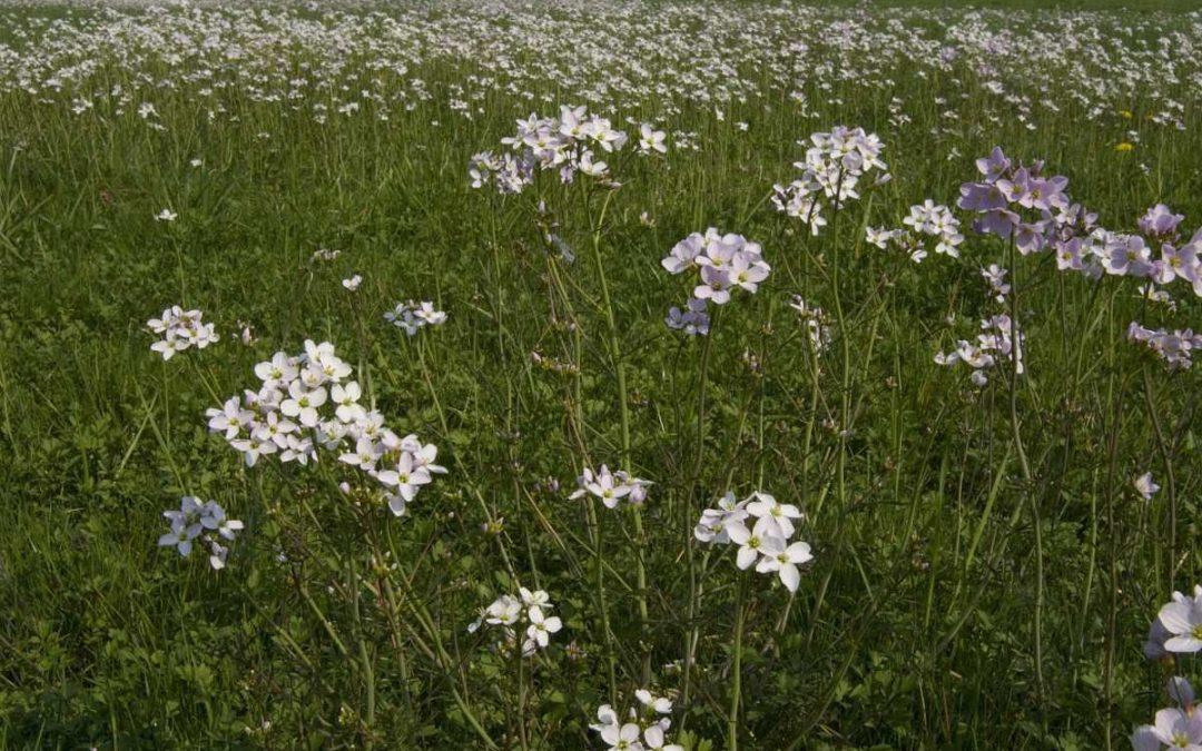 Fietsexcursie: Pinksterbloemen en bloeiende gazons