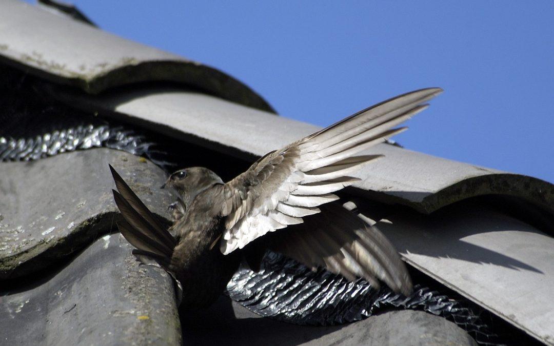 Volop zomer – zwaluwen horen erbij!