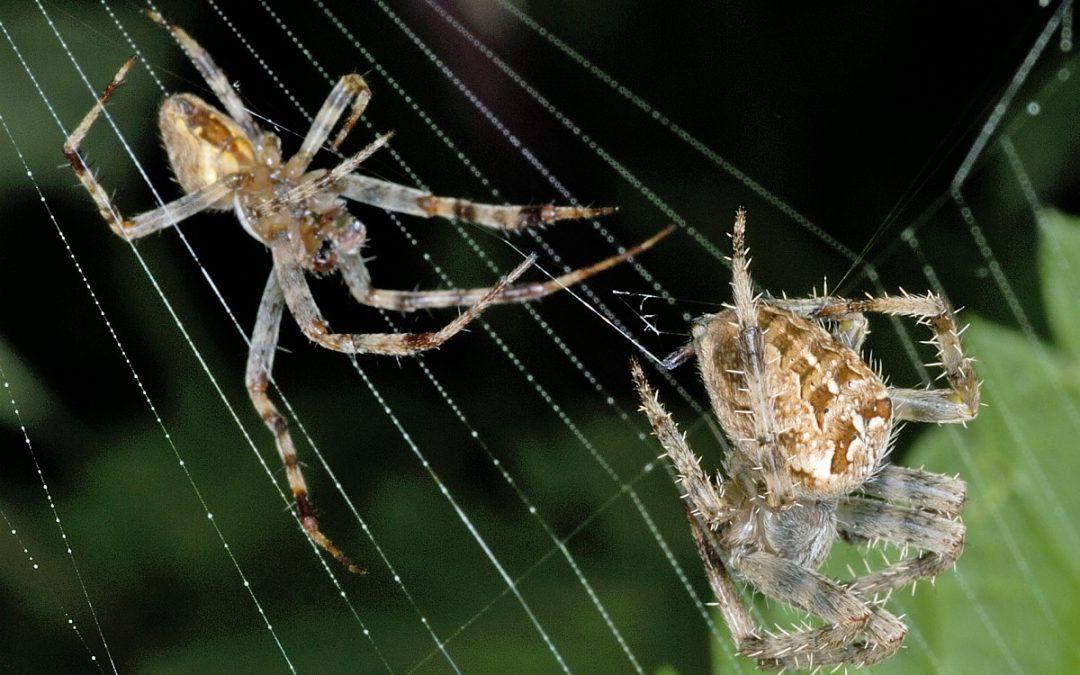 Spinnen – Het wordt herfst, ze zijn er weer