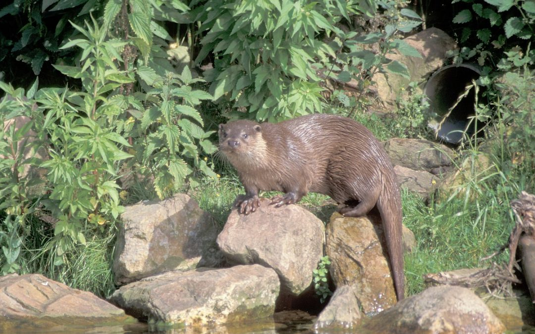 Otters in Leidsche Rijn?